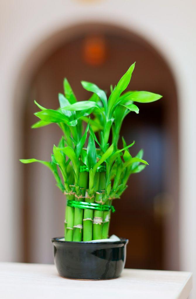 Lucky Bamboo (dracena Sandera)