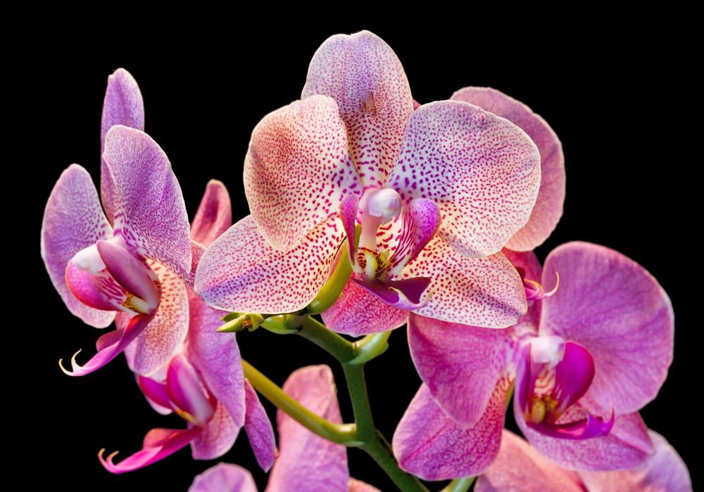 Storczyk phalaenopsis (falenopsis)