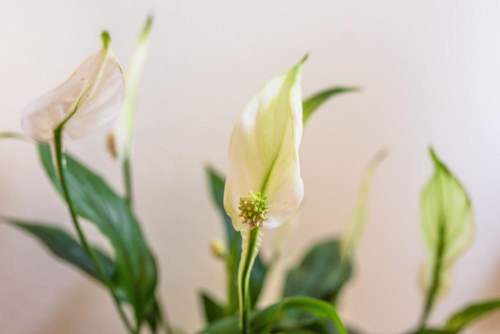 kwiaty do sypialni skrzydłokwiat