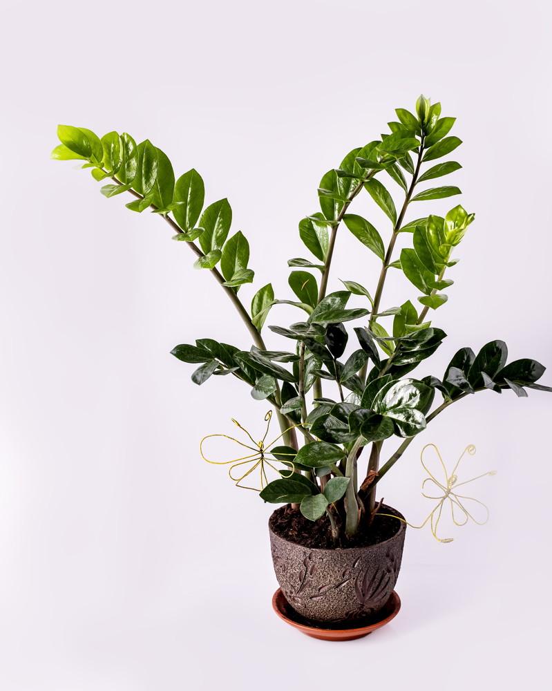 kwiat zamiokulkas podlewanie nawożenie